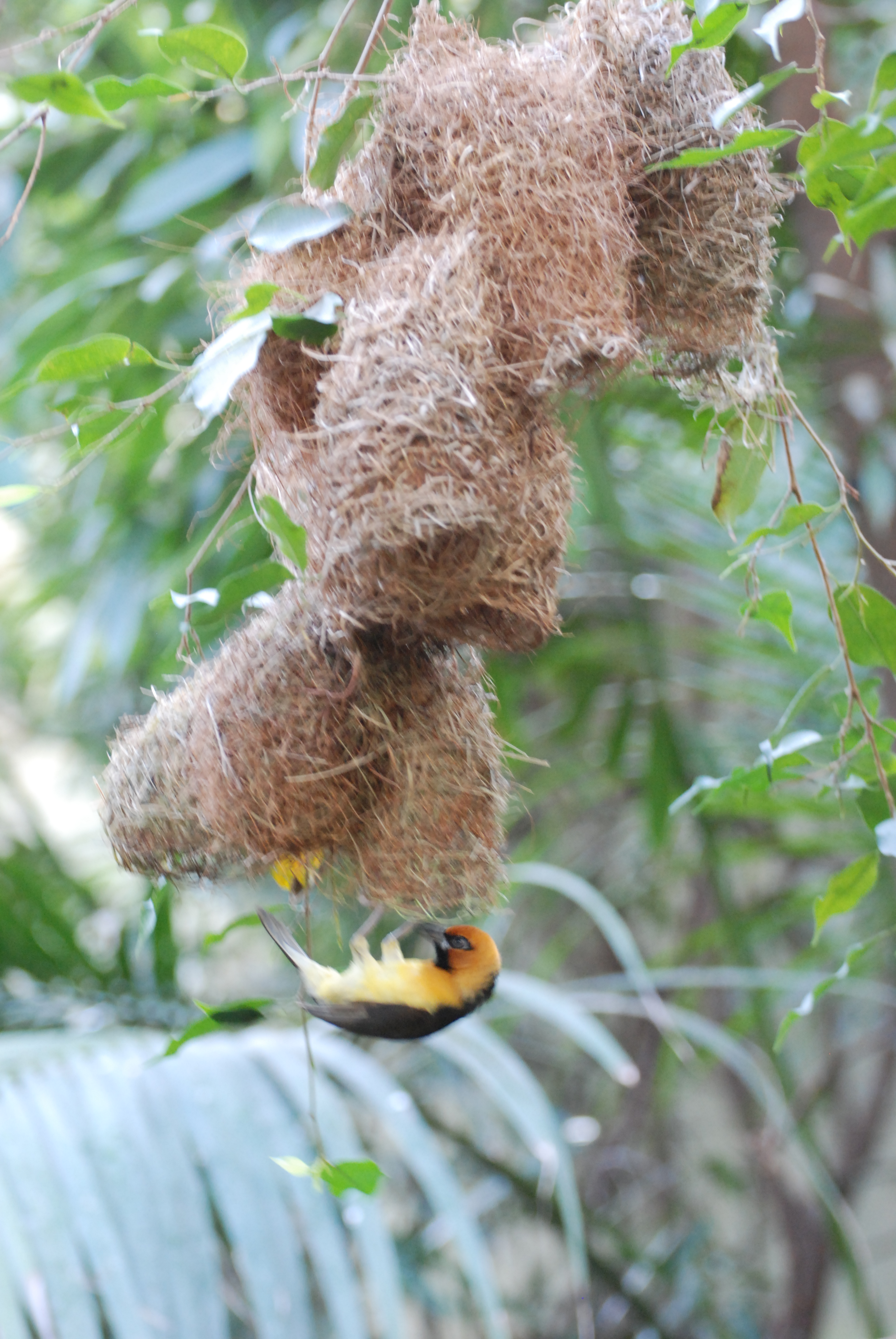 Sortnakket væver - Ploceus nigricollis (Kbh ZOO)