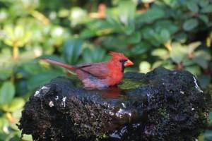 Rød Kardinal